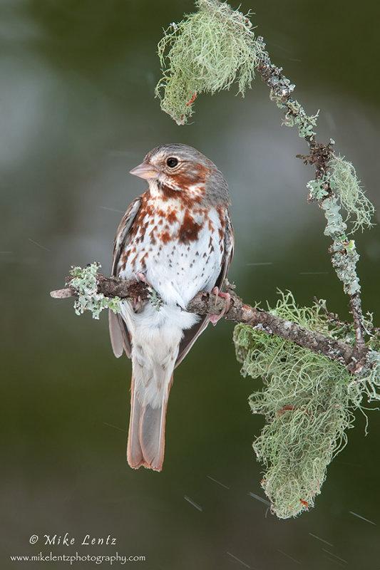 Fox sparrow in snowfall