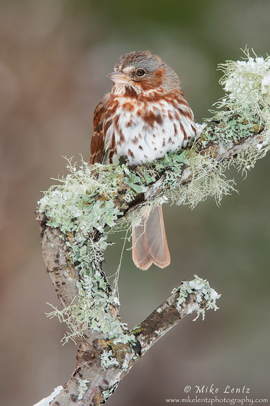 Fox sparrow on lichen covered stick