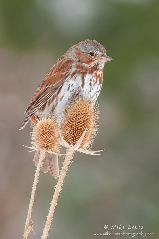 Fox Sparrow on Teasel