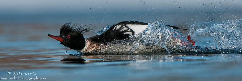 Red breasted Merganser rushing (pano)