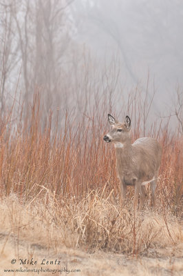 Doe in red shrubs and fog