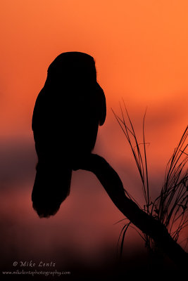 Northern Hawk Owl sunset silhouette
