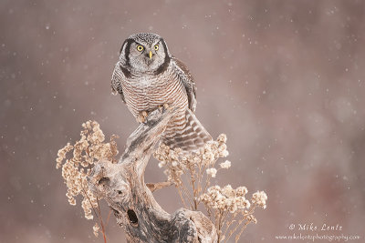 Northern Hawk Owl portrait on perch
