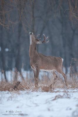 Buck sniffs willows