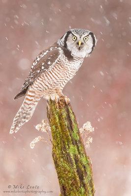 Northern Hawk Owl on green mossy perch