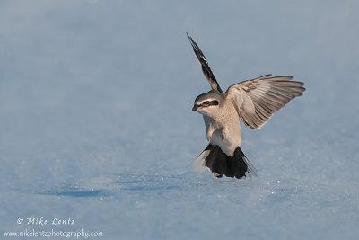 Northern Shrike wings open