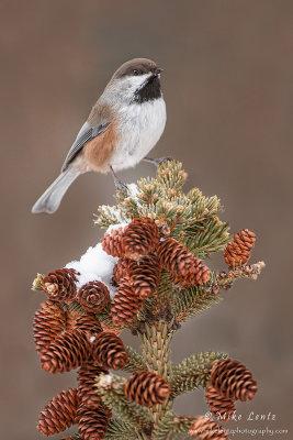 Boreal Chickadee on pine top
