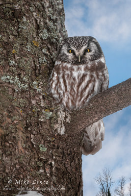 Boreal Owl blue sky