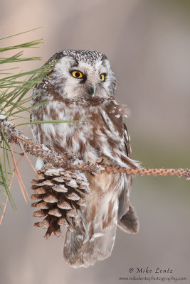 Boreal Owl on Pine cone