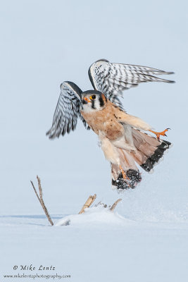 Kestral bursts from snow