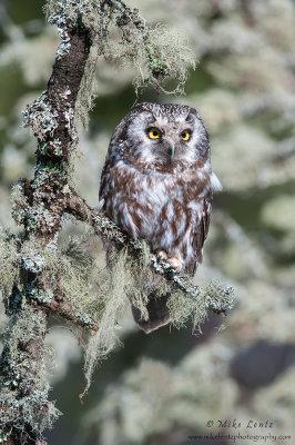 Boreal Owl hidden in lichen