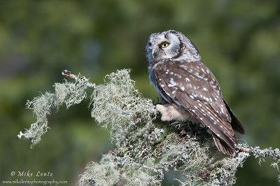 Boreal Owl on lichen clump