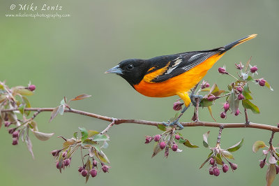 Baltimore Oriole on buds