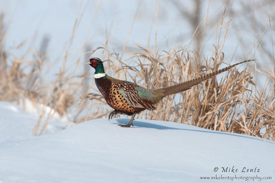 Pheasant struts on snow