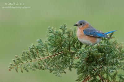 Bluebird relaxed on perch