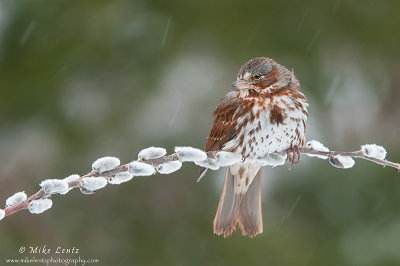 Fox sparrow on pussywillow