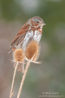 Fox Sparrow on Teasel