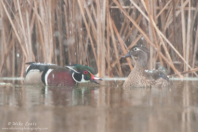 Wood duck couple in snow fall