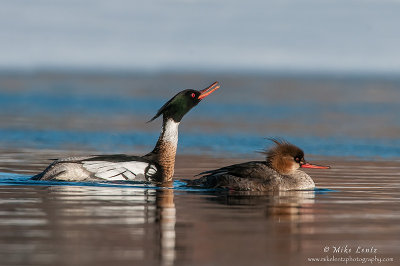 Red breasted Merganser displays over female