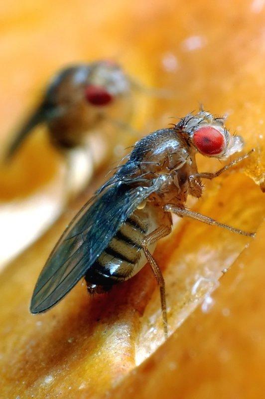 Drosophila-melanogaster.jpg