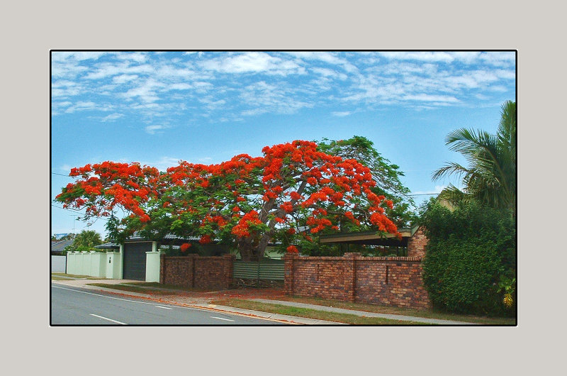 The Poinciana (Delonix regia), it grows in Queensland Australia.