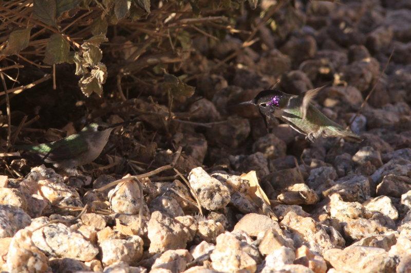 Hummingbird Turf Battle