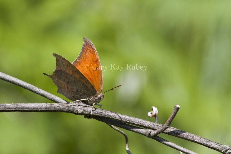 __ Goatweed Leafwing _MG_0853.jpg