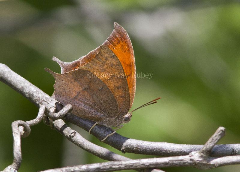 Goatweed Leafwing _MG_0700.jpg