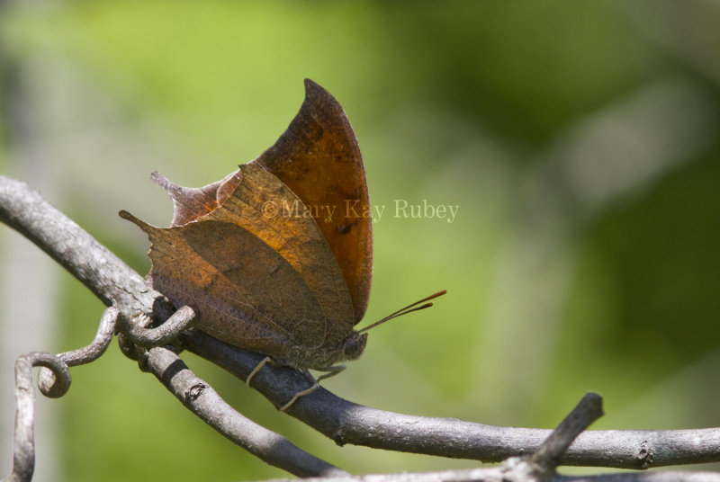 Goatweed Leafwing _MG_0708.jpg
