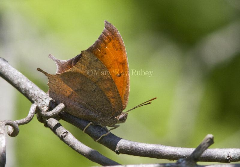 Goatweed Leafwing _MG_0710.jpg