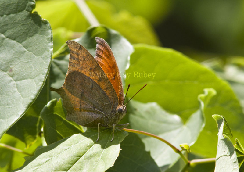 Goatweed Leafwing _MG_0718.jpg
