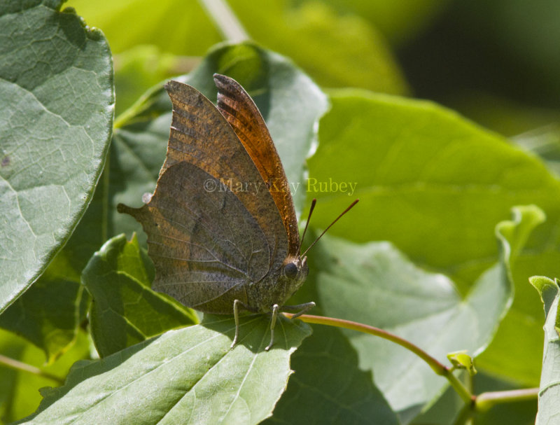 Goatweed Leafwing _MG_0721.jpg