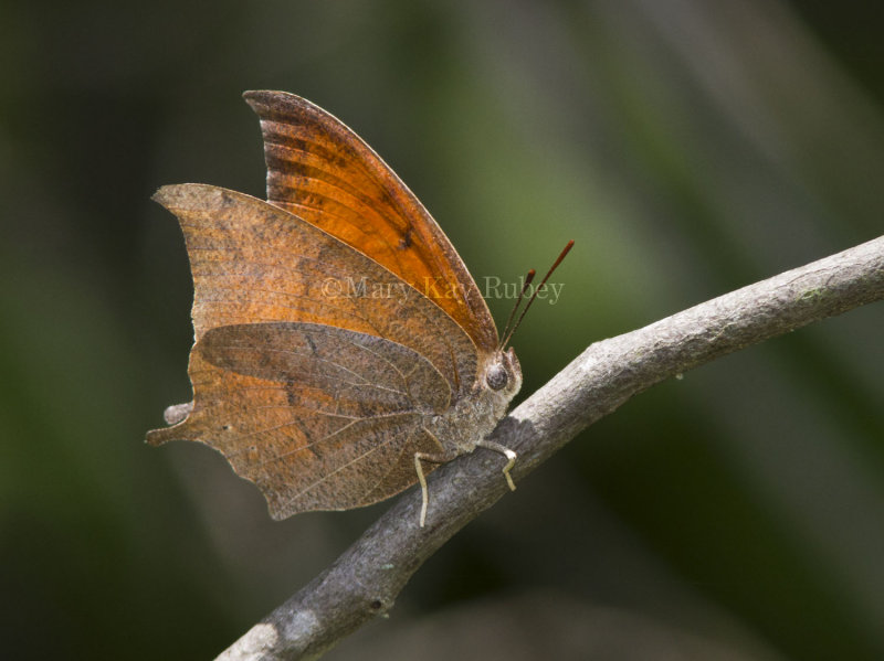 Goatweed Leafwing _MG_0747.jpg