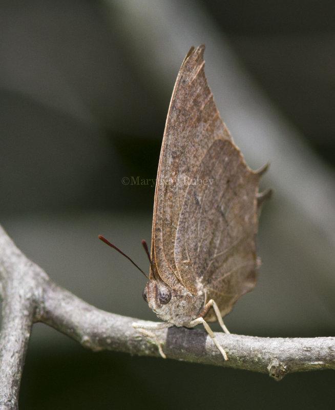 Goatweed Leafwing _MG_0762.jpg