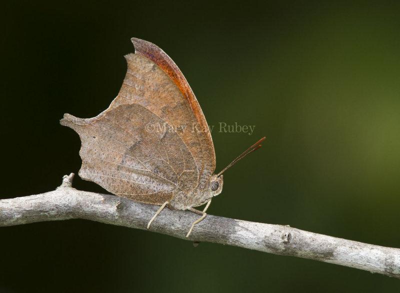 Goatweed Leafwing _MG_0809.jpg