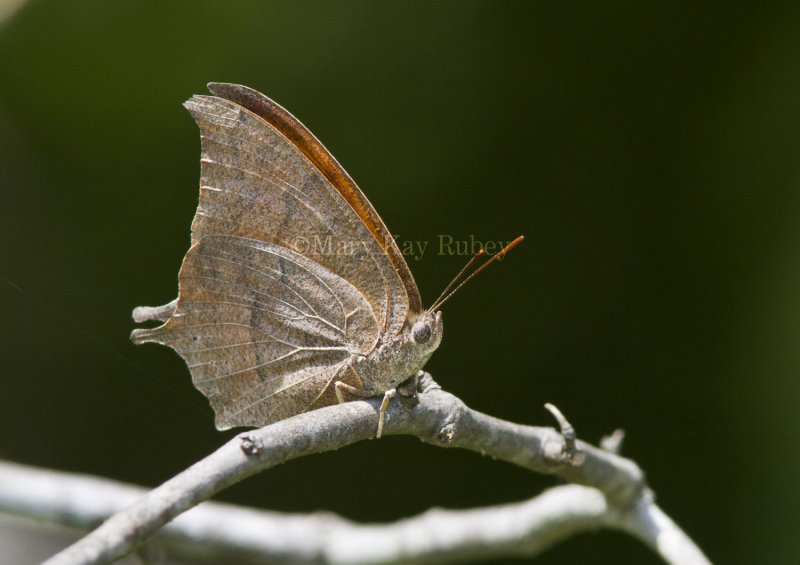 Goatweed Leafwing _MG_0813.jpg