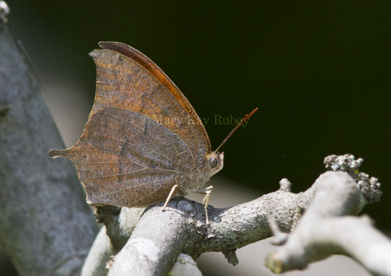 Goatweed Leafwing _MG_0821.jpg