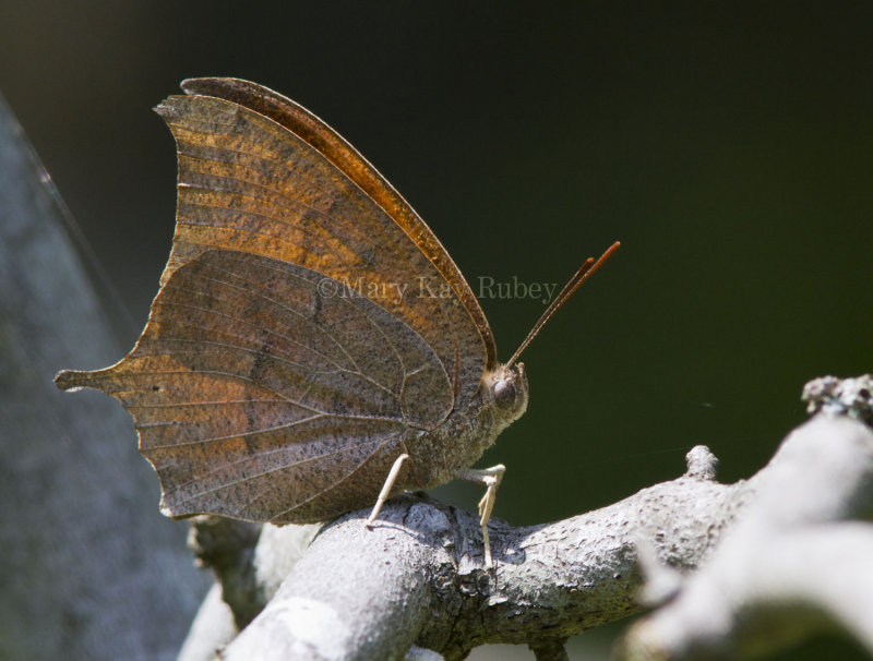 Goatweed Leafwing _MG_0824.jpg