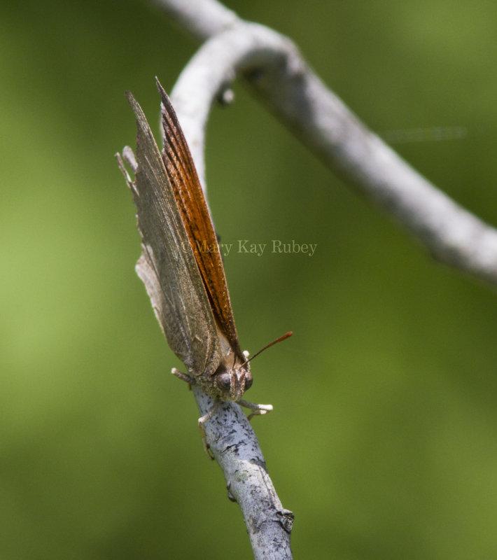 Goatweed Leafwing _MG_0843.jpg