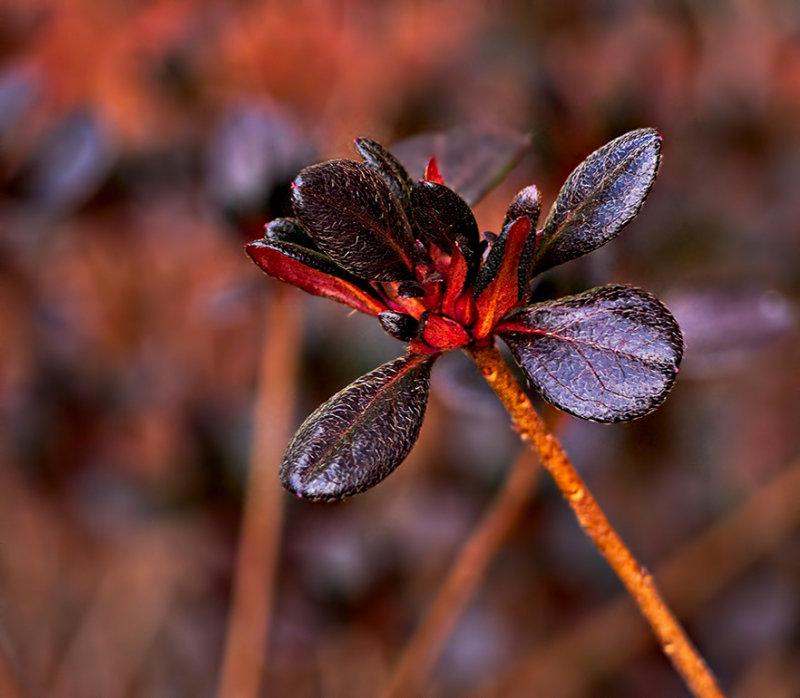 Azalea in winter