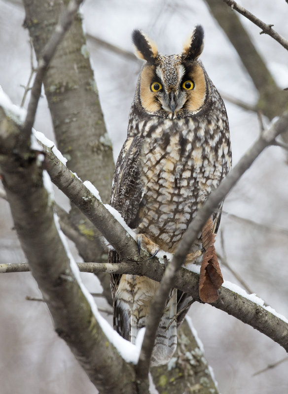 Long-eared Owl 0198