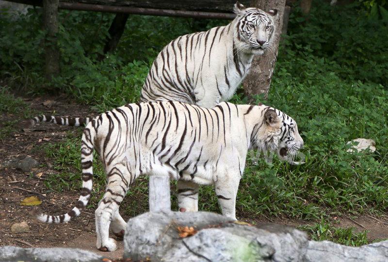 Siberian Tigers, Chiang Mai Zoo