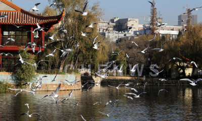 Sea gulls in Caihu Park in Kunming city, China.
