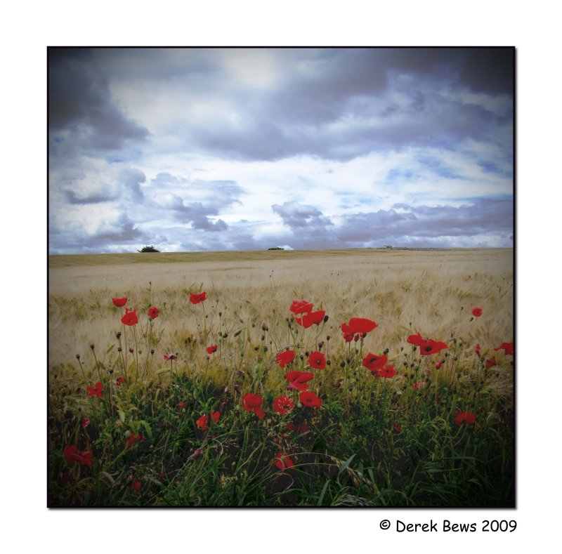 Kingsbarns Poppies