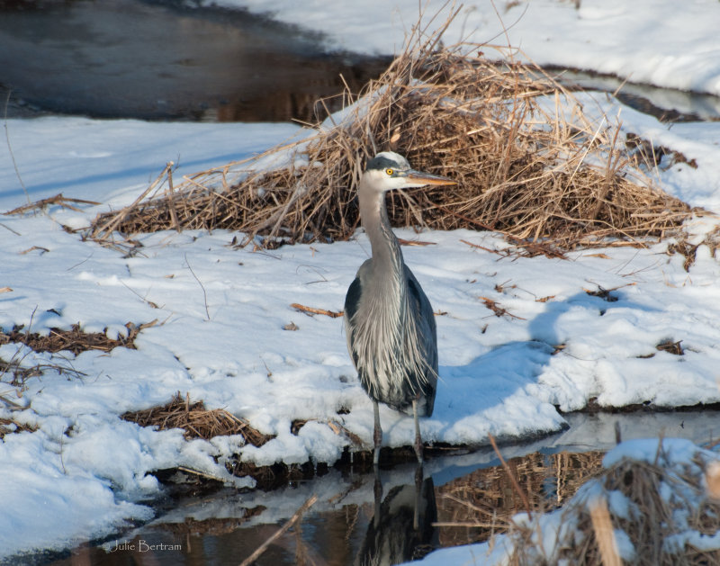 Great Blue in Winter