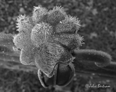 Flower and Frost