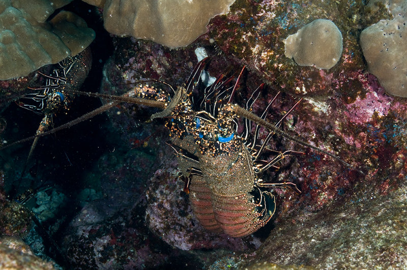 Spiny Lobsters