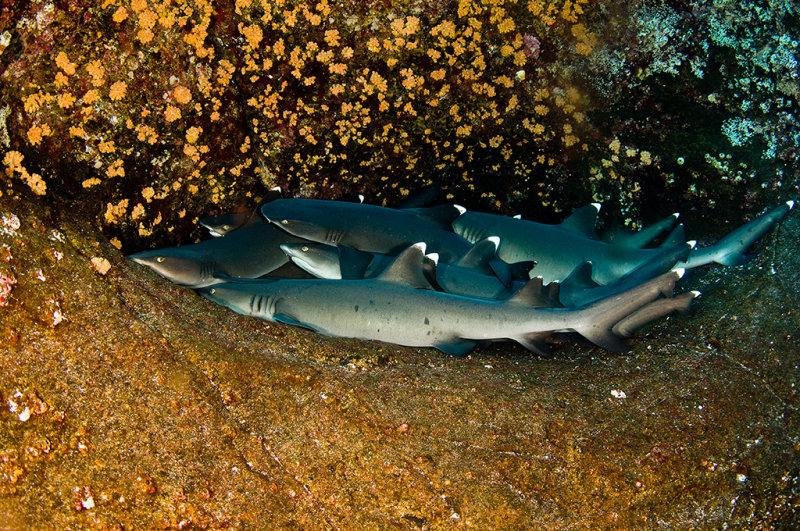 White tip reed sharks
