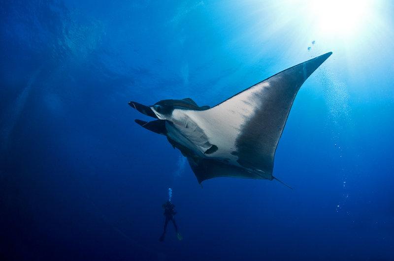 Manta Ray and a diver