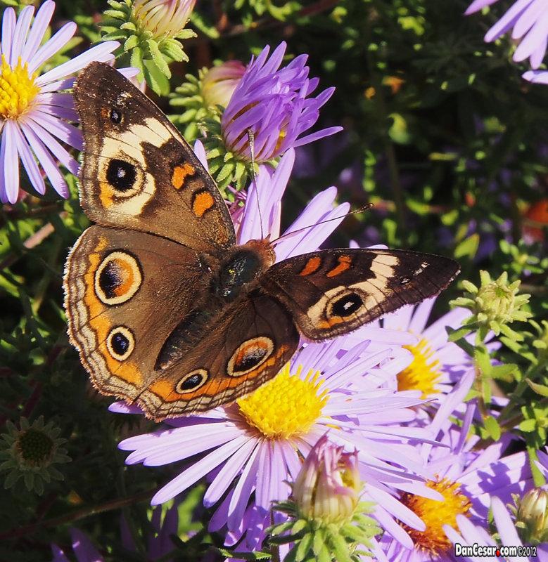 Missouris native Buckeye butterfly